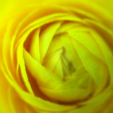 Chicago Botanic Garden - Yellow Rose macro