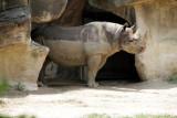 Cincinnati Zoo - Indian Rhino