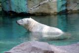 Cincinnati Zoo - Polar Bear
