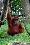 Cincinnati Zoo - Orangutan