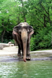 Cincinnati Zoo - Indian Elephant