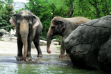 Cincinnati Zoo - Indian Elephant