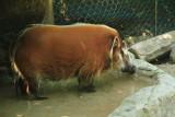 Cincinnati Zoo - Red River Hog