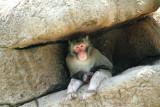Cincinnati Zoo - Macaque
