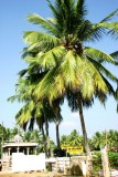 Coconut trees by the Pillayarpatti temple, Karaikudi, India