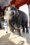 Kumbeshwara temple elephant, Kumbakonam, India