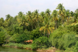 Coconut trees on the Cauvery, Tiruchirapalli (Trichy)