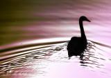 Swan Ripples copy.jpg