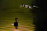 swan chasing ducks  copy.jpg