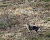 Coyote with mange
