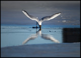 Black-headed Gull diving in a pond surrounded by ice