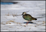 Newly arrived Lapwing in snow