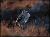 Great Snipe in late evening light