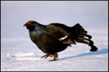Male Black grouse in early morning light visiting the lekking place (-18 degrees below C)