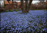 Early spring - Scilla garden in Ölands Skogsby