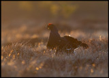 The lek has been  going on for nearly one hour when the first sunlight arrives...