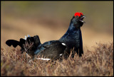 A male Black Grouse in perfect spring plumage