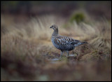 A female Black Grouse entering the lekking place (makes the males go mad!)