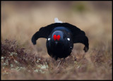 A beautiful male Black Grouse
