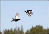 Last Black Grouse (for my season) leaving the lekking area