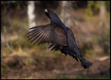 The Cappercaillie male makes a jump during it`s display