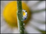 A raindrop and Daisy (Tusensköna - Bellis perennis) in my garden