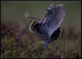 Great Snipe (Dubbelbeckasin - Gallinago media) flashing underparts of wings