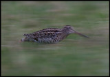 Great Snipe (Dubbelbeckasin - Gallinago media) running like a mouse between different parts of the lekkingplace