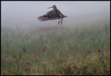 Great Snipe (Dubbelbeckasin - Gallinago media) jumping