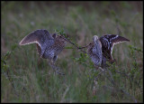 Two Great Snipes (Dubbelbeckasin - Gallinago media) fighting