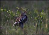 Great Snipe (Dubbelbeckasin - Gallinago media) on display