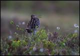 Great Snipe (Dubbelbeckasin - Gallinago media) in early summer vegetation