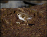 The first big steps in life......Common Sandpiper (Drillsnäppa - Actitis hypoleucos) Ventlinge