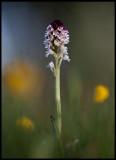 Burnt Orchid (Krutbrännare - Orchis ustulata) Öland
