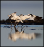 Avocets playing - Eckels udde