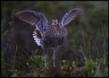 Great Snipe flashing wings