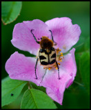 Bee Beetle (Humlebagge - Trichius fasciatus) - Karryd