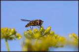 Blomfluga (Eupenodius luniger) - Grönhögen
