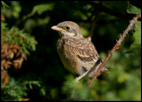 Very young Red-backed Shrike - Ventlinge