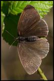 Luktgräsfjäril (Ringlet - Aphantopus hyperantus) - Ventlinge Öland