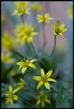 Vårlök (Gagea lutea) - Albrunna