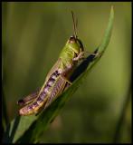 Kärrgräshoppa (Mecostethus grossus) Södra Lunden - Ottenby