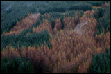 Coniferous forrest with autum birches