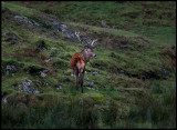 Male Red Deer at West Tarbert (Kronhjort - Cervus elaphus) Scotland (controlled conditions)