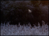 Barnowl hunting in frosty morning - Cley Next to Sea England