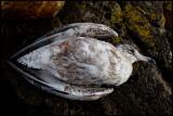 Young Herring Gull did not survive the cold night - Simrishamn