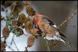 Male Two-barred Crossbill (Bändelkorsnäbb) eating favourite food - Larch cones