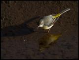 Grey Wagtail (Forsärla) - Hermotts Mill Pond, Bristol England