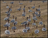 Pink-footed Geese (Spetsbergsgäss) - Cley England