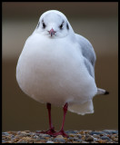 Black-headed Gull (Skrattmås) - Cley England